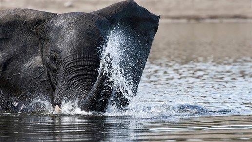 Safari in Chobe National Park, Botswana -  See the beautiful African elephant #wildlife #animals #Africa #kilroy