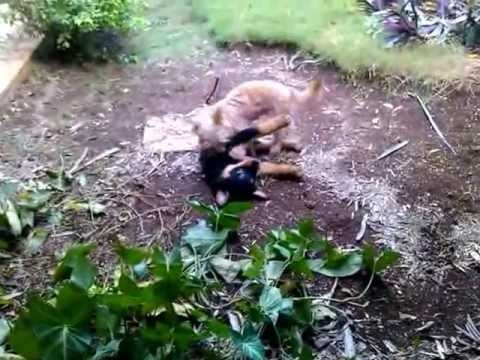 Ron playing with Mademoiselle // rottweiler puppy playing with small dog #ron #rottweiler #rottie #puppy #puppies #dog #doggy #mademoiselle #cute #pet #pets #funny #play #playing