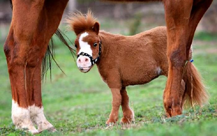 Уберите детей от экранов: 30 мимими мини-лошадей: Рост мини-лошади — порядка 86-97 сантиметров в холке. Они привлекательны и добронравны — могут служить в качестве поводырей для слепых.