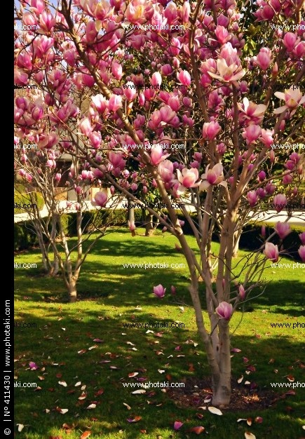 Magnolia bush - I cant wait till mine starts blooming like this
