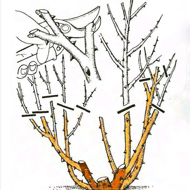 Рис. 5. Обрезка чайно-гибридных роз