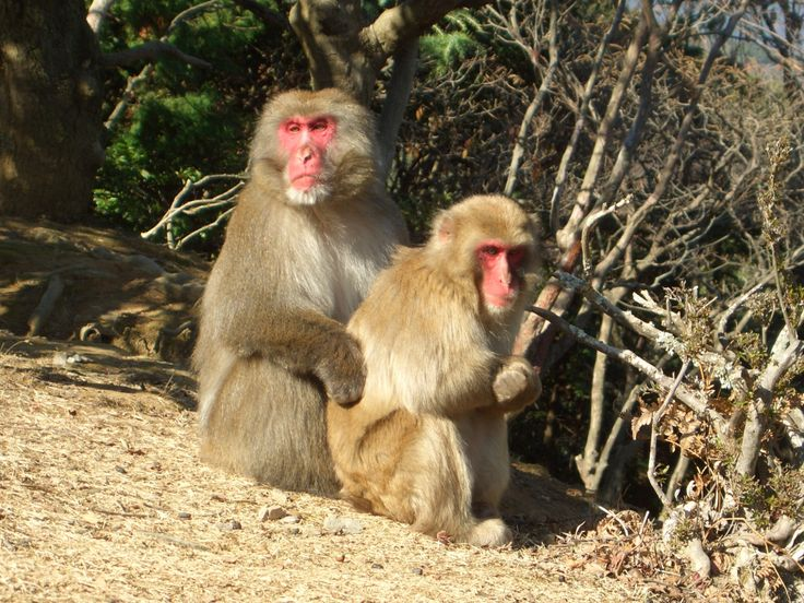 Macaca fuscata, male and female