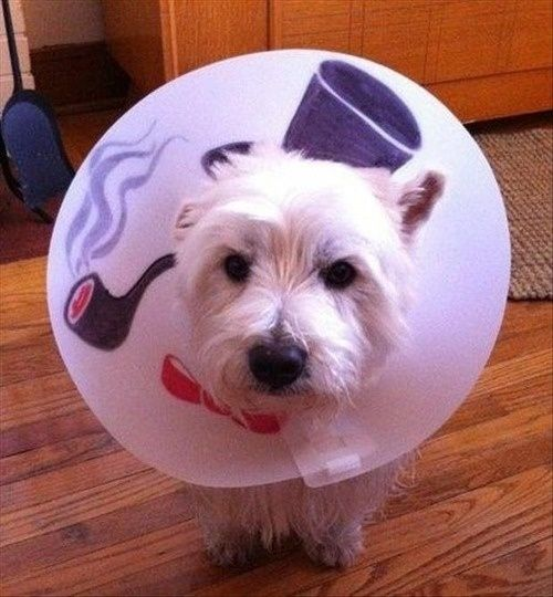 Cone of shame does not mean a break from solving crime. | 24 Pets Owning The Cone Of Shame THIS ONE IS MY ABSOLUTE FAVORITE!!