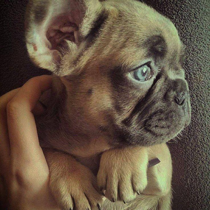 Mood Blue Fawn French Bulldog Puppy