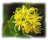 Rhodiola virágok - A Rhodiola rosea egy különleges adaptogén. Jó néhány olyan tulajdonsággal rendelkezik, melyek a többi adaptogén fölé helyezik mint gyógynövényt. Adaptogén hatásának köszönhetően fogyasztója másképp értékeli az élethelyzeteket.