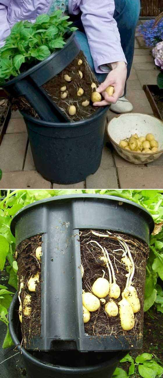 #3. Putting a potato pot with cut sides inside another one makes it easier to lift the plants out for harvesting