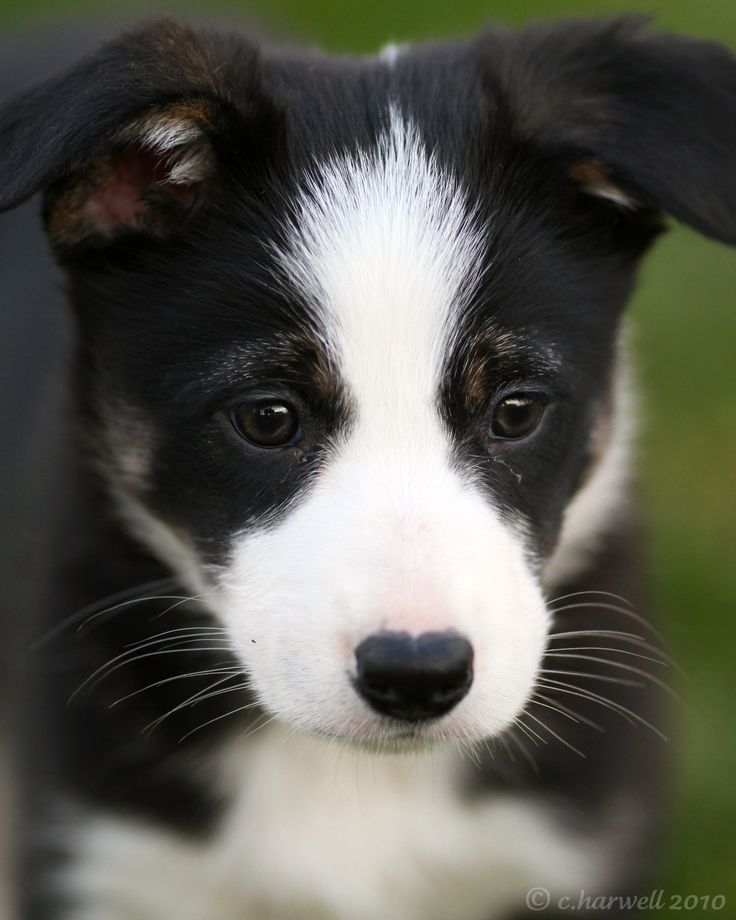 Adorable Border Collie puppy