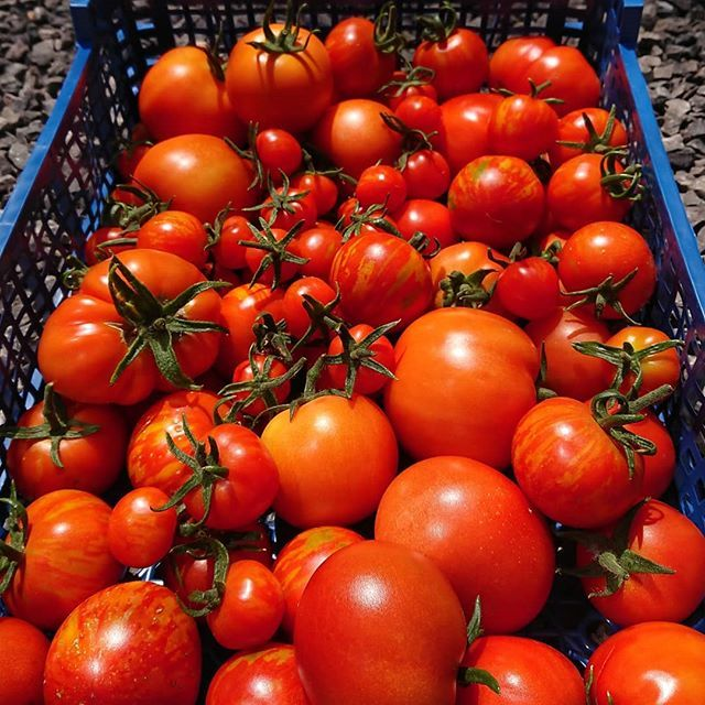 New The 10 Best Garden Ideas Today With Pictures Loves A Good Tomato Even If They Are A Bit Of A Mixed Bunch Growso Tomato Veg Patch Edible Garden