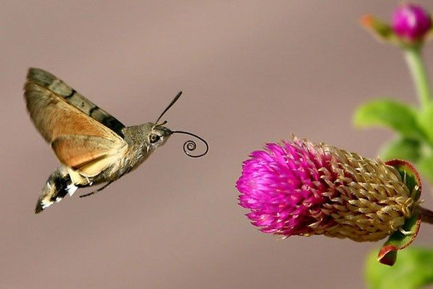 The hummingbird hawk-moth (or hummingmoth), actually makes an audible humming sound, in addition to looking like a hummingbird.