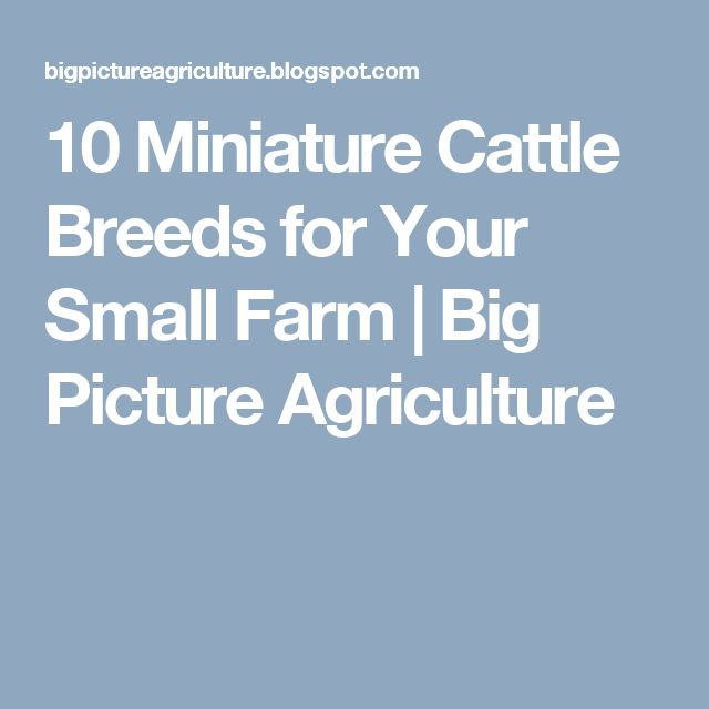 10 Miniature Cattle Breeds for Your Small Farm | Big  Picture  Agriculture