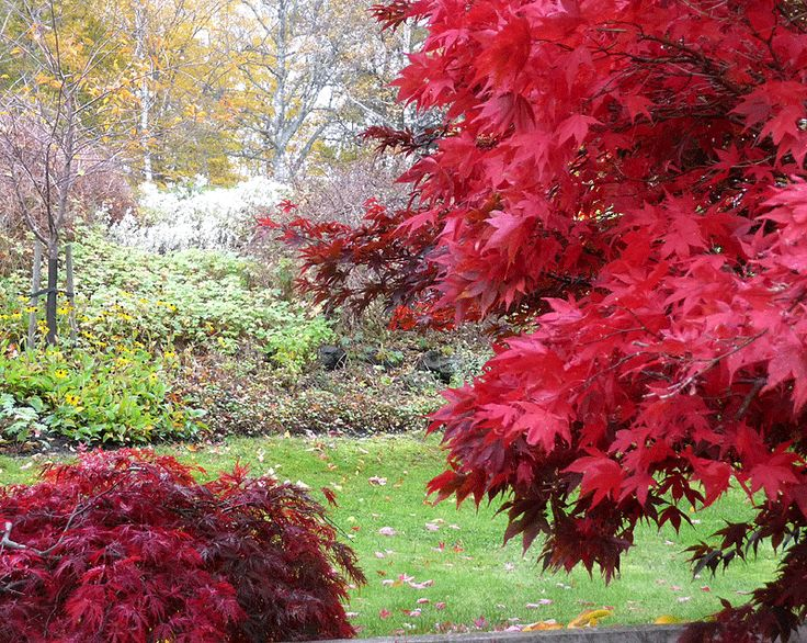 Japansk lönn - Acer palmatum