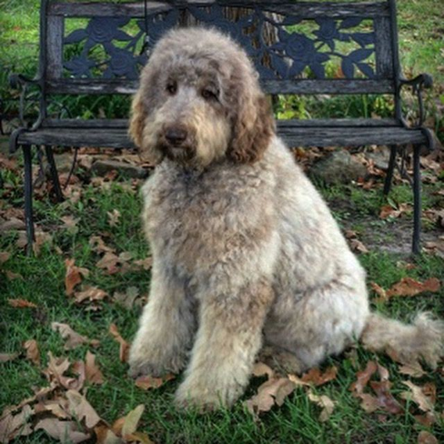 Celebrating The Coming Of Fall F1b Standard Goldendoodle In Cafe Au Lait From Okefeild Acres Goldendoodle Goldendoodle Puppy Standard Goldendoodle