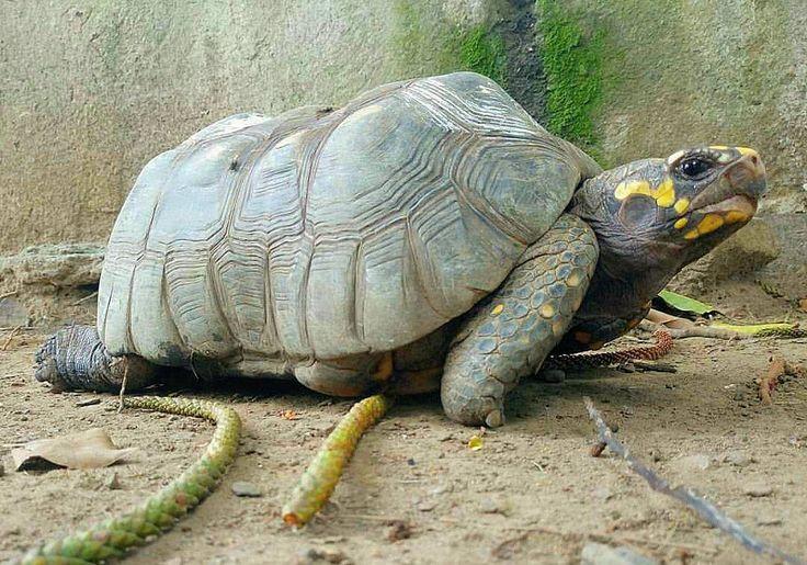 #nature #animals #tourtle #tortuga #steppe #morrocoy #photography #beautiful #spring #amazing #awesome #raining #angles #naturelove #naturelover #fauna #animales #caparazon #tortugasninja #dp__art #lento #paciencia http://tipsrazzi.com/ipost/1521825369505633143/?code=BUenBxPj5N3