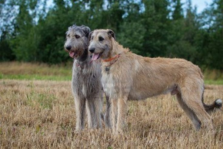 Irish Wolfhound photo | Irish Wolfhound dogs photo and wallpaper. Beautiful Irish Wolfhound ...