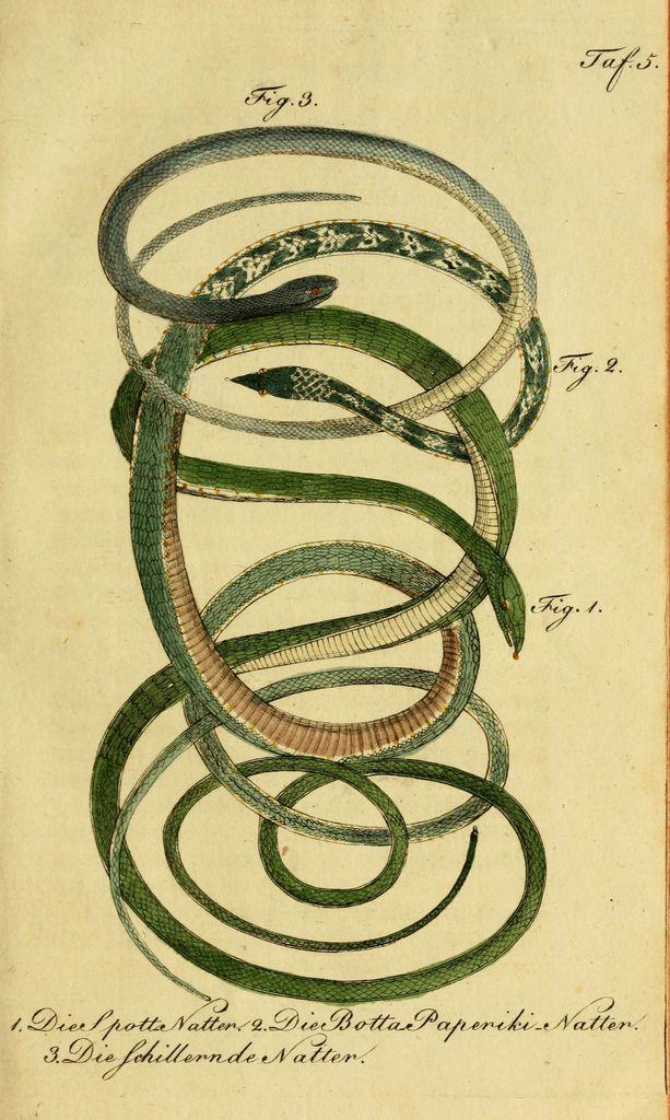 herrndelacepedes04lac_0085 | por The Ernst Mayr Library