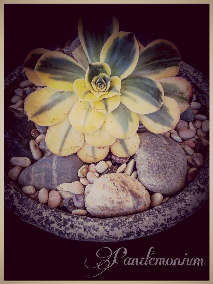 Aeonium sunburst variegated
