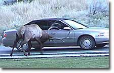 Bull elk ramming a car lol yellowstone national park wildlife viewing attraction.