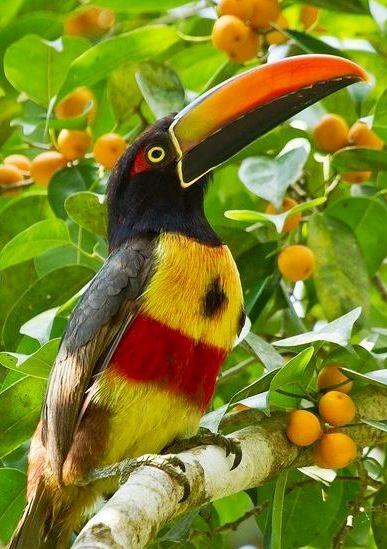 Fiery-billed Aracari: Pacific slopes of Costa Rica & PA. www.Facebook.com/