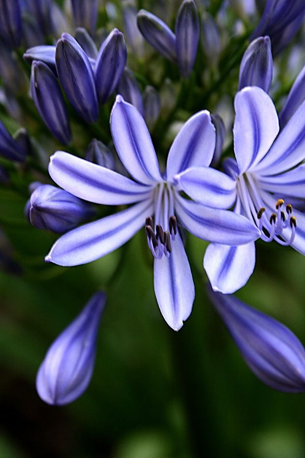 """The text on the pin read """"lily;"""" perhaps as in Lily of the Nile or Agapanthus, but not the typical all blue Agapanthus."""