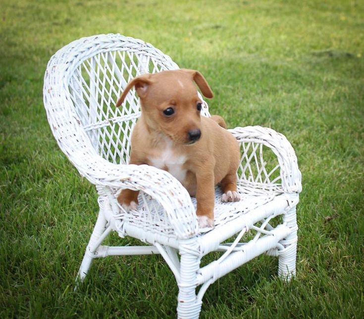 Sandy Miniature Pinscher puppy for sale [Woodburn