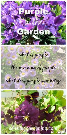 Using Purple in the Garden with Sensible Gardeniing, The meaning of purple flowers, what is purple and what does it symbolize.