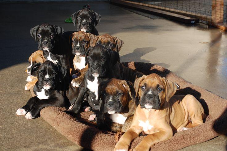 Puppies!  <3 <3 <3 se parecen a mi toffo y zasha los boxer que tuvimos aquí en casa