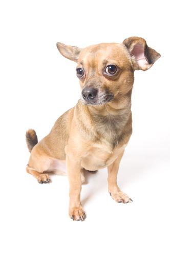 O que é o tumor venéreo transmissível canino (ou tumor de Sticker)?