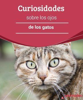 Curiosidades sobre los ojos de los gatos Los gatos tienen rasgos que son mucho más que bellos, les presentamos algunas curiosidades sobre los ojos de los gatos.