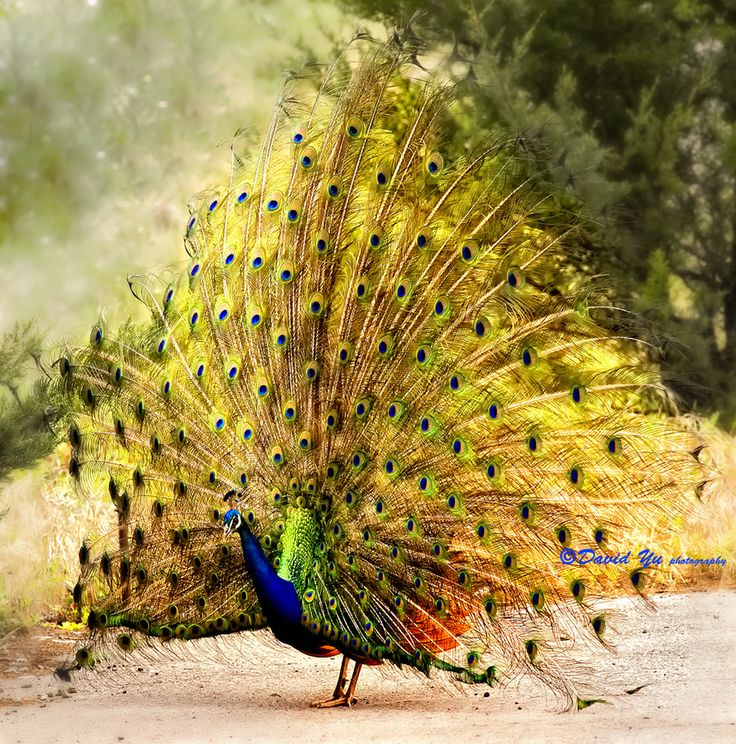 Peacock opens feathers by David Yu, via 500px