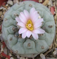 Peyote cactus in flower  http://applied-ethnobotany.blogspot.com.au/2011/01/grandfather-peyote-how-some-plants-are.html