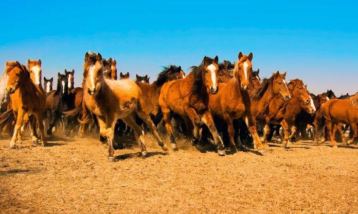 Enciclopedia Animal 2017: 【 Caballo Mustang 】 ➨➨ Aprende qué come, dónde vive, cómo nace, sus características y más entrando en ® Anipedia.