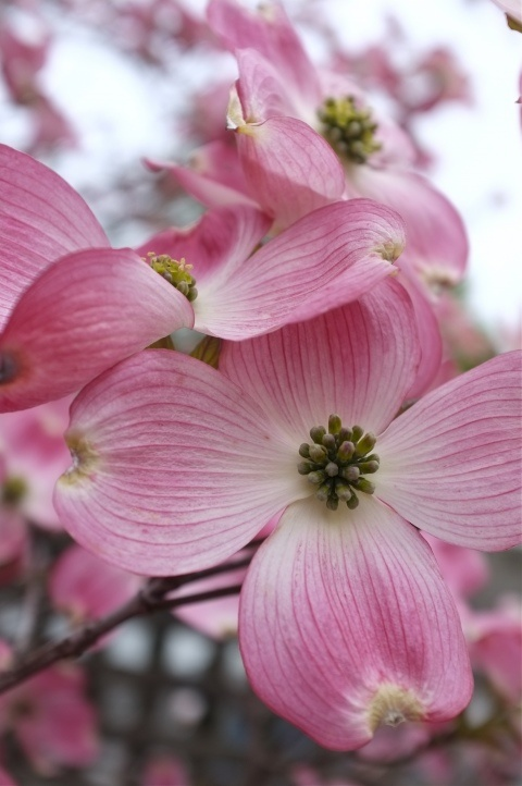 Pink dogwoods are one of my favorite trees. I haven't been successful growing them though. It's the state tree of North Carolina.