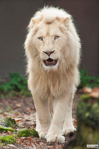 Witte leeuw, een der wonderen natuur. Schitterend mooi, maar nogsteeds geen knuffeldier. Levensgevaarlijk, niet voor niets de koning der dieren.