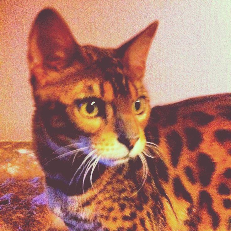 My cat Jackpot Ailo bengal cat