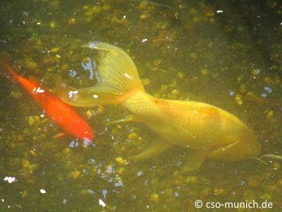 Warum wechseln #Goldfische manchmal die #Farbe? Hier die Antwort.  #Goldfisch #Garten #Teich #Aquarium #Natur