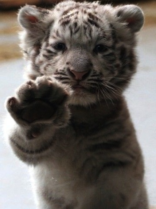 : White Tigers, Big Cat, High Five, Animal Baby, So Cute, Pet, Baby Animal, Tigers Cubs, Baby Tigers