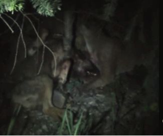 (Video) Cougar Fights A Wolf To A Bloody Spine-Crunching Death