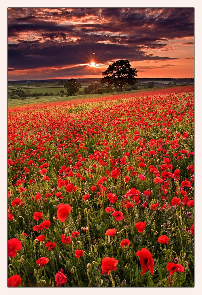 Poppy field in Badbury, Oxfordshire, England ✯ ωнιмѕу ѕαη∂у