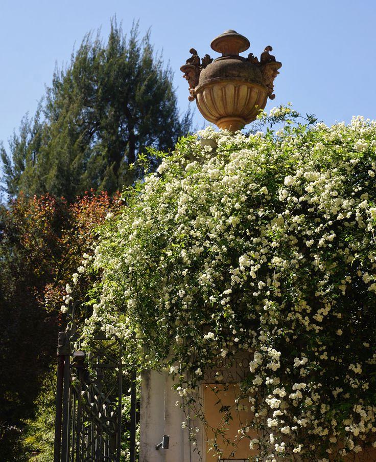 Rosa banksia alba - Karl Gercens
