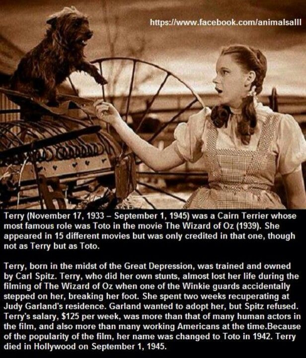 Terry ~ (November 17, 1933 – September 1, 1945) was a Cairn Terrier whose most famous role was Toto in the movie The Wizard of Oz (1939). She appeared in 15 different movies but was only credited in that one, though not as Terry but as Toto.