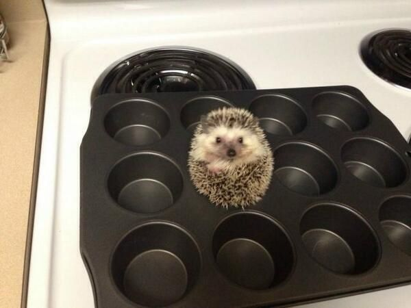 Stop the press! A baby hedgehog in a muffin tin.