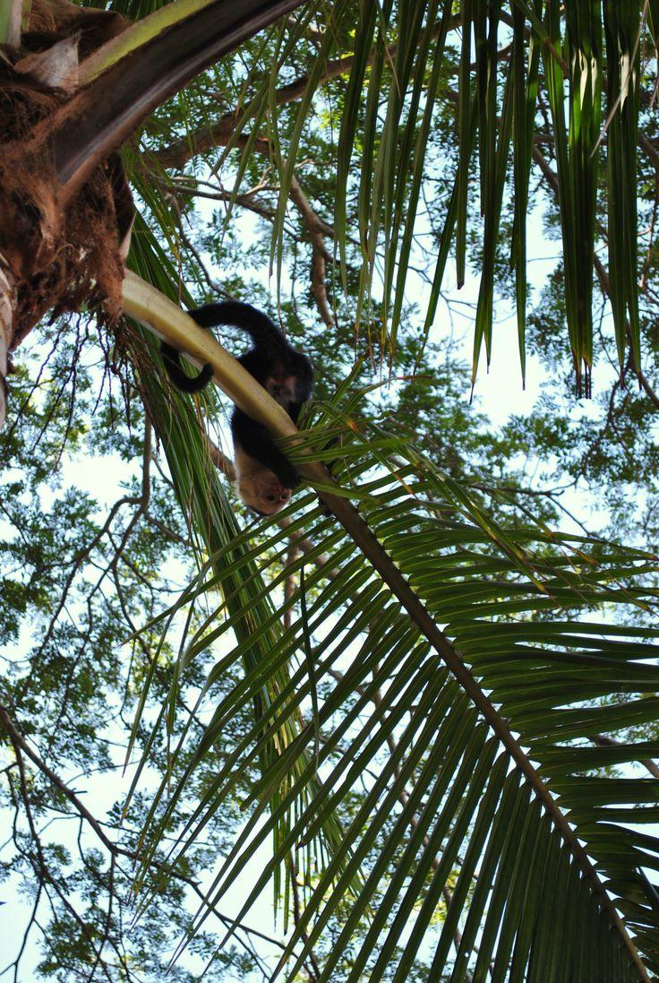 En playa doña Ana Puntarenas norte para los turistas que quieren disfrutar de . Playa  es un gran lugar para conocer a los lugareños y la experiencia de una visión del estilo de vida relajado Tico que atrae a visitantes de todo el mundo. Entre ellos apreciar diversos tipos de animales como los monitos cara blanca IN COSTA RICA.