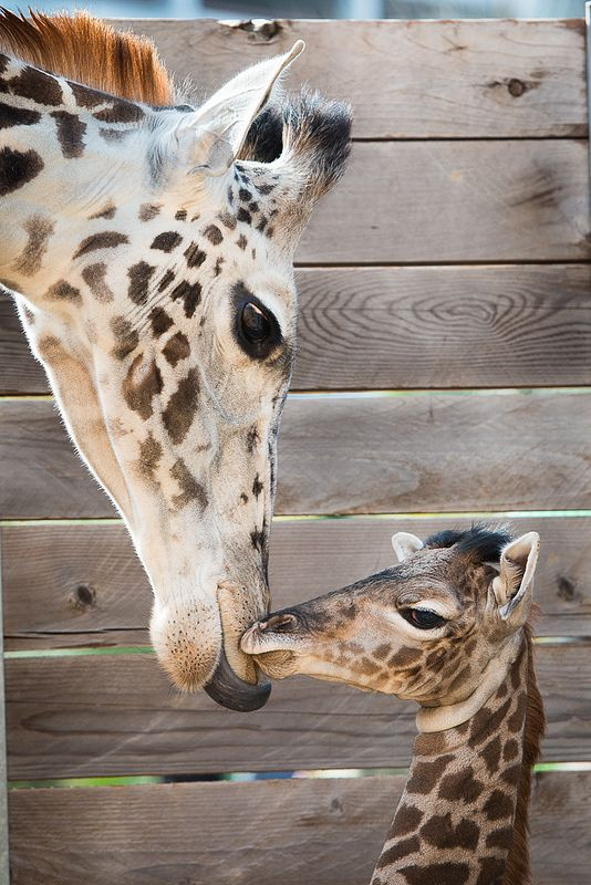 This baby Masai Giraffe, born Feb 25 at the Houston Zoo, was named Yao after former Houston Rockets player Yao Ming, who is leading a conservation awareness program with WIldAid. See both Yao's pictures and learn more, today on http://www.pinterest.com/TakeCouponss/houston-zoo-coupons/