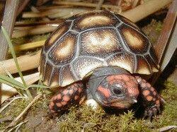 cherry head turtle red foot tortoise