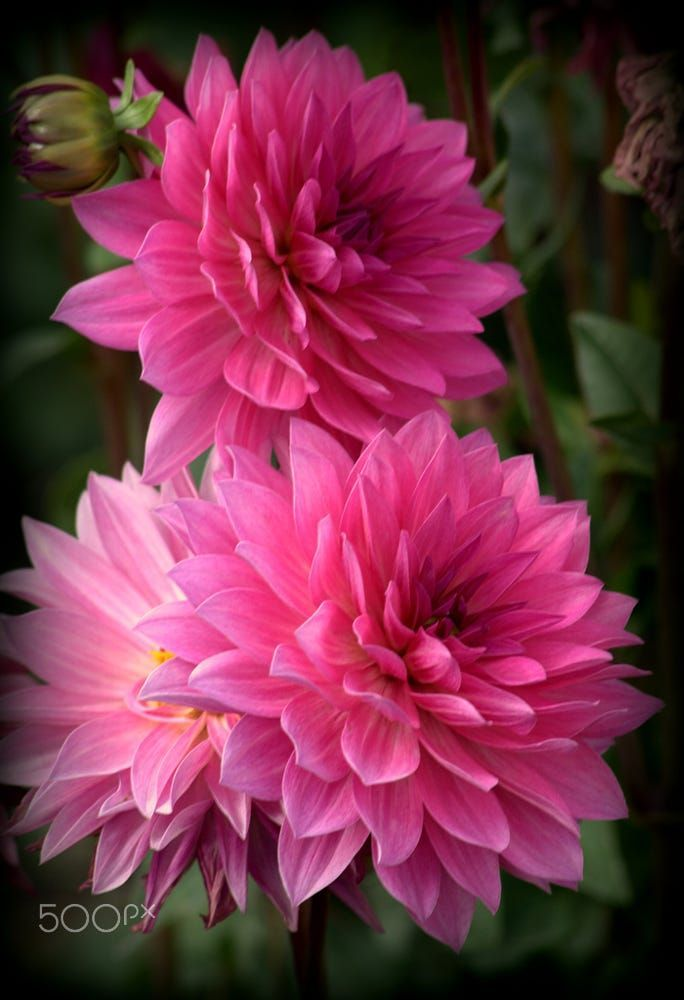 Pink Dahlia Flowers By Nate Abbott On 500px Beautiful Flowers Dahlia Flower Flower Garden