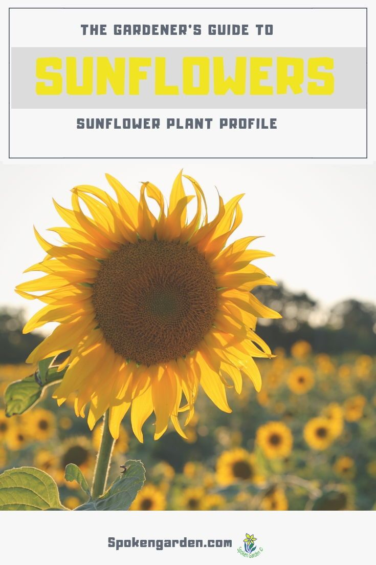 Sunflowers A Gardener S Guide And Plant Profile Spoken Garden Planting Sunflowers Plants Beautiful Flowers Garden