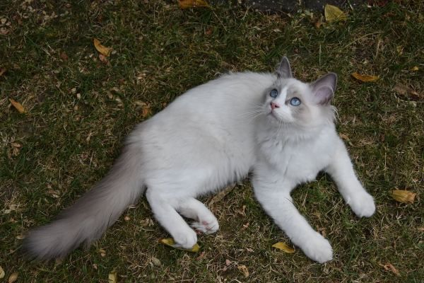 Do Ragdoll Cats Need A Lot Of Attention