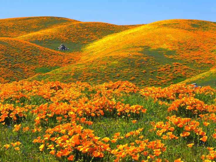California Poppies and Rolling Hills, Antelope Valley, California: California Poppies, Little Houses, The Angel, Beautiful, Orange Flowers, Landscape, Rolls Hill, Photo, Natural