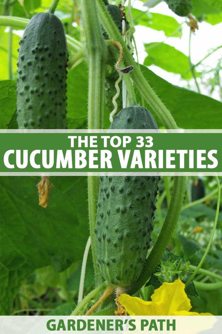 Top 33 Cucumber Varieties To Grow At Home Cucumber 400 x 300