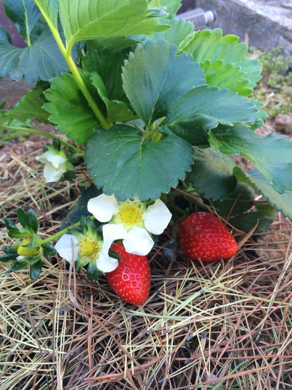 Handy guide to the conditions that strawberry plants like so that you get a bumper strawberry harvest this spring!  # garden thelinkssite.com